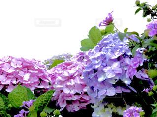 近くに紫の花のアップの写真・画像素材[1239502]
