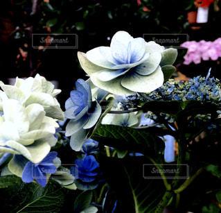 花,植物,あじさい,紫陽花,梅雨,Hydrangea,アジサイ