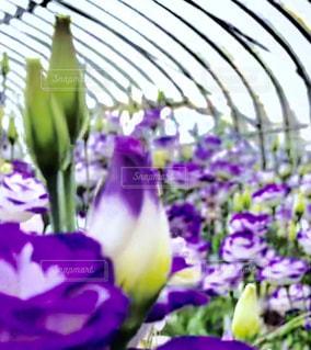 紫色の花一杯の花瓶の写真・画像素材[1275394]