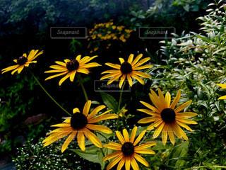 黄色の花の写真・画像素材[1388455]