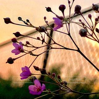 紫の花のグループの写真・画像素材[1391212]