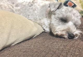 ベッドの上で横になっている茶色と白犬の写真・画像素材[1625460]