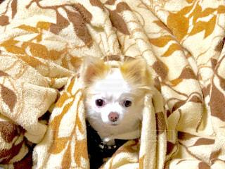 ベッドの上の小さな白い犬の写真・画像素材[1627405]