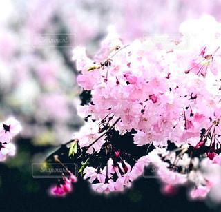 花,春,ピンク,景色,鮮やか,草木,さくら,ブルーム,ブロッサム