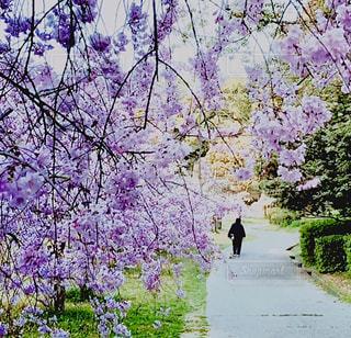 花,春,桜,屋外,景色,樹木,草木,さくら
