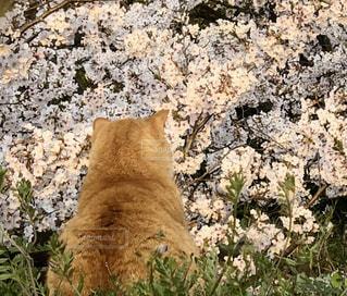 猫,公園,花,桜,動物,屋外,花見,さくら