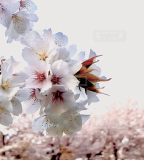 公園,花,桜,屋外,草木,さくら
