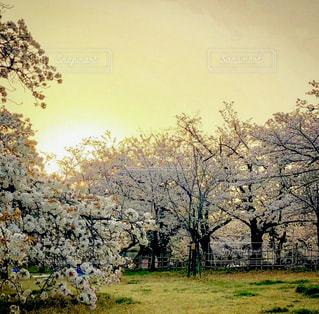 自然,空,花,春,桜,屋外,景色,草,樹木,早朝,草木,さくら