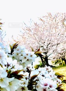 花,春,桜,草木,さくら