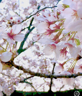 花,春,屋外,草木,桜の花,さくら,ブロッサム