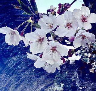 花,桜,木,屋外,花びら,草木,さくら