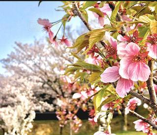 空,花,春,樹木,草木,桜の花,さくら,ブルーム