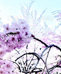 空,花,春,枝,樹木,草木,桜の花,さくら,ブルーム