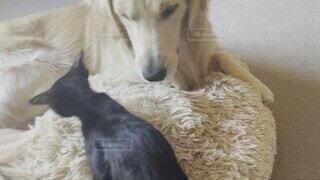 家族,犬,猫,動物,屋内,かわいい,室内,仲良し,癒し,可愛い,子犬,クロネコ,ゴールデンレトリバー,キャット,ゆとり,平和な時間
