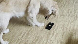 犬,猫,動物,屋内,白,景色,スマホ,床,生き物,ゴールデンレトリバー,携帯,アラーム