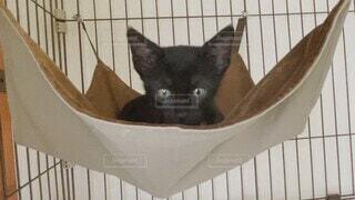 動物,屋内,ハンモック,子猫,生き物,黒猫,クロネコ,日中,ネコ,猫の部屋