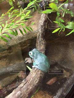 枝に座っているカエルの写真・画像素材[749720]