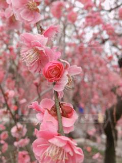 花,春,梅,花見
