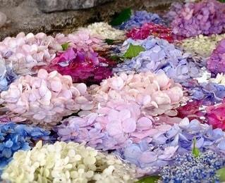 紫陽花の写真・画像素材[3364918]