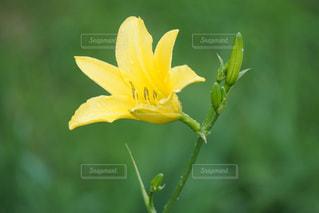 黄色の花の写真・画像素材[1409731]