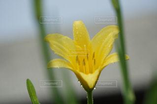 黄色の花の写真・画像素材[1409747]
