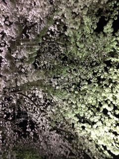 春,桜,夜桜