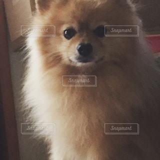 カメラを見て犬の写真・画像素材[751763]