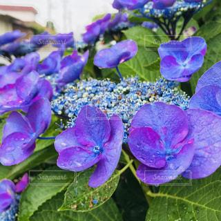 紫陽花,梅雨,しずく,癒される♡
