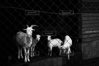 ヤギの親子の写真・画像素材[813486]