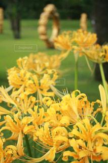 黄色,鮮やか,黄色の花,元気,ビタミンカラー,彼岸花,イエロー,カラー,yellow,霧島アートの森