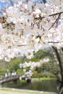 春,桜,橋,小川,満開,お花見,熊本,八景水谷