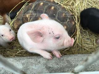 ぶたブタ子豚の写真・画像素材[752011]