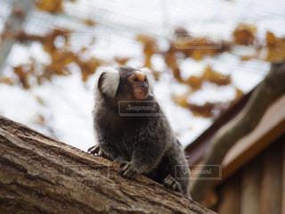 コモンマーモセットの写真・画像素材[756898]