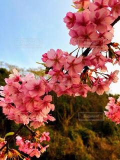 夕方の桜の写真・画像素材[1832362]
