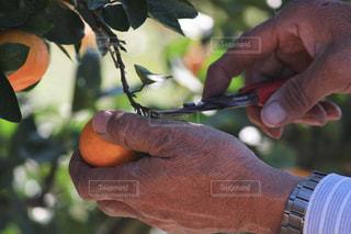 手,フルーツ,くだもの,みかん,職人