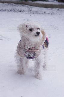 雪の中でフリスビーで遊んで小型犬の写真・画像素材[974128]