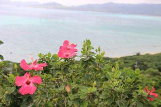 植物にピンクの花の写真・画像素材[1045669]