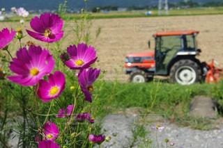 コスモス,熊本,花のある風景