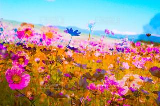 花,秋,コスモス,カラフル