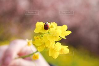 黄色の花の写真・画像素材[1867683]
