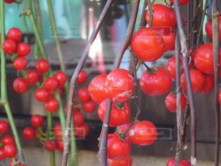 赤い実の写真・画像素材[895809]