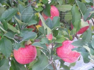 フルーツ,果物,アップル,りんご,林檎,Apple,リンゴ,たわわ