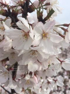 春の写真・画像素材[414300]