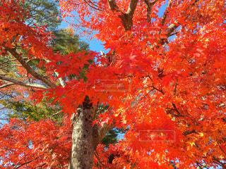赤い葉の木の写真・画像素材[844663]