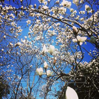早春の白木蓮の写真・画像素材[921249]