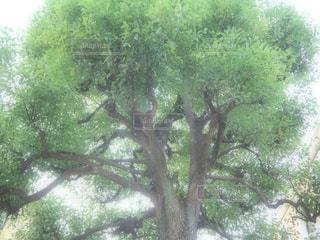 森の大きな木の写真・画像素材[993561]