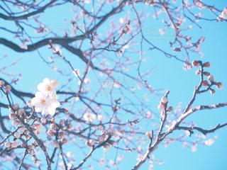 自然,花,春,植物,かわいい,梅,青空,快晴,春の訪れ