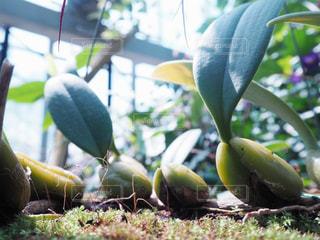 豆の芽の写真・画像素材[996899]