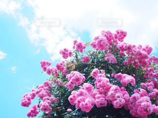 風景,空,花,秋,屋外,ピンク,植物,雲,青空,バラ,薔薇,バラ園,KAWAII,秋空,pink,おしゃれ,フォトジェニック,インスタ映え,roseGarden