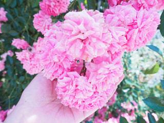 バラの花の写真・画像素材[1466064]